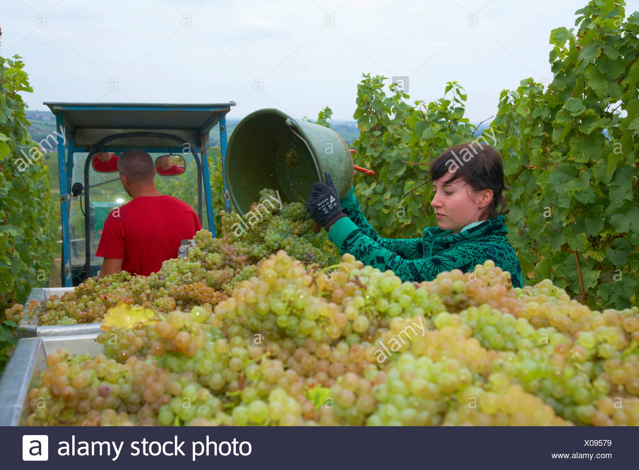 Vintage at wine-grower Rolf und Tina Pfaffmann GbR at Frankweiler Deutsche Weinstrasse Palatinate Rhineland-Palatinate Germany E - Stock Image