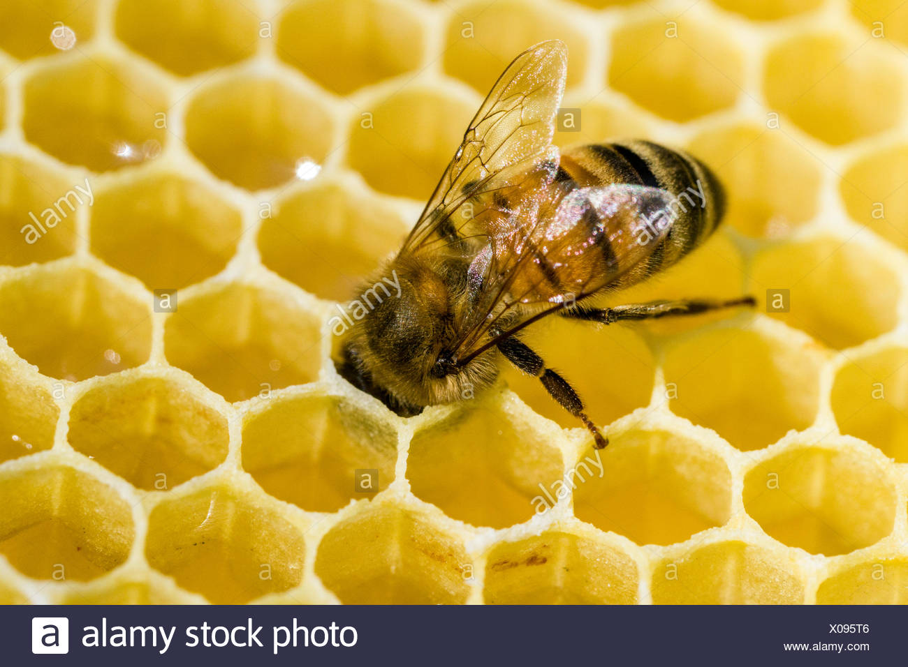 A Carniolan honey bee (Apis mellifera carnica) is acting on a honeycomb, Saxony, Germany - Stock Image