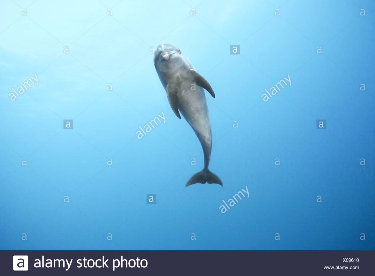 Bottlenose dolphin swimming in ocean - Stock Image