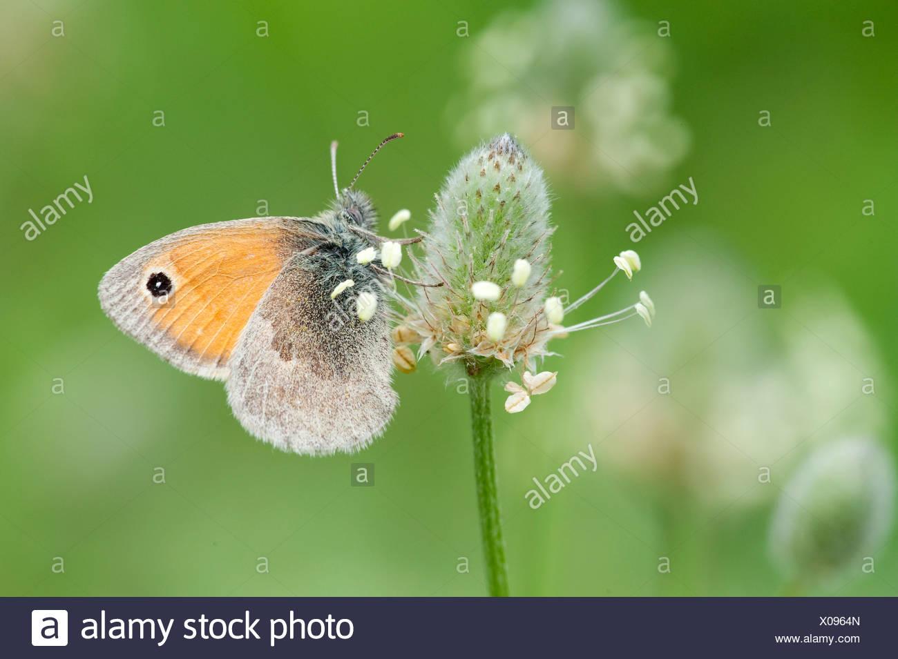 Small heath butterfly Coenoympha pamphilus Greece - Stock Image