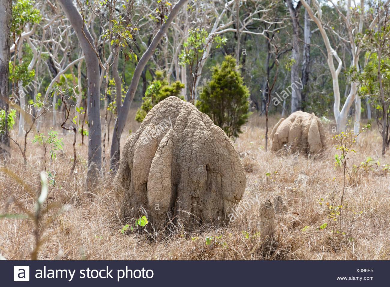 Bulbous termite mounds near Mareeba, North Queensland, Australia - Stock Image