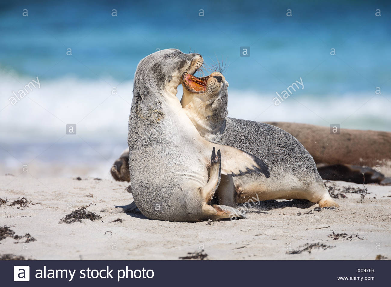 Young Australian sea lions, Neophoca cinerea, mouthing each other on the beach. - Stock Image