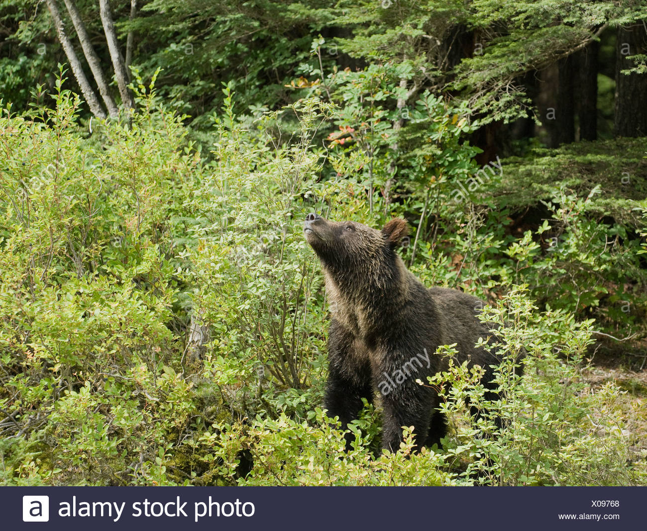 Grizzly Bear (Ursus arctos horribilis) Adult takes a break from feeding to scent air for danger.  Blueberries (Vaccinium corymbo - Stock Image