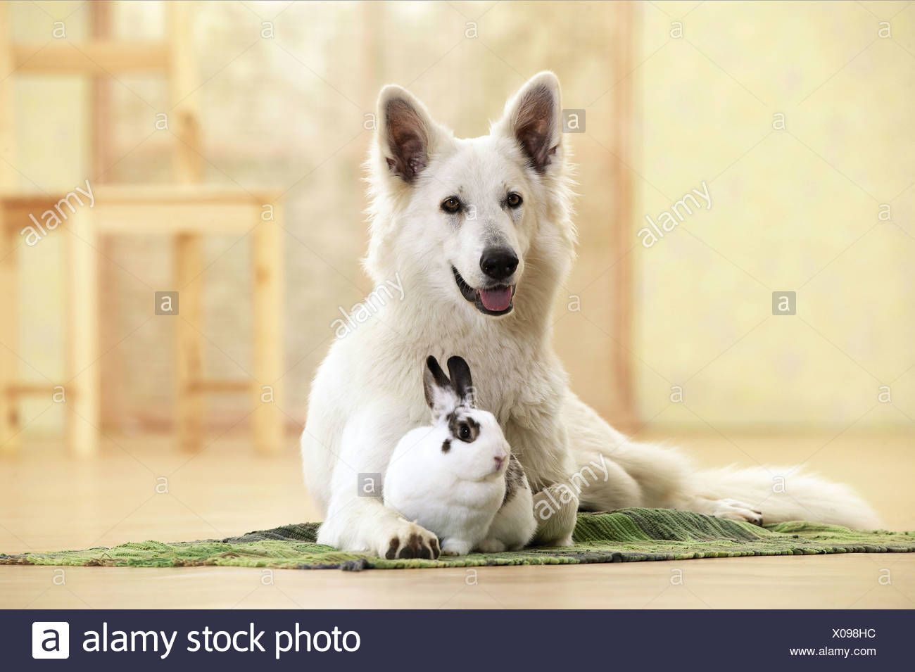 Animal-friendship : Berger Blanc Suisses with rabbit - Stock Image