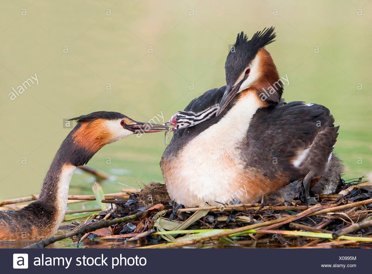 Great Crested Grebes (Podiceps cristatus), adult pair feeding chick, one day, North Hesse, Hesse, Germany - Stock Image