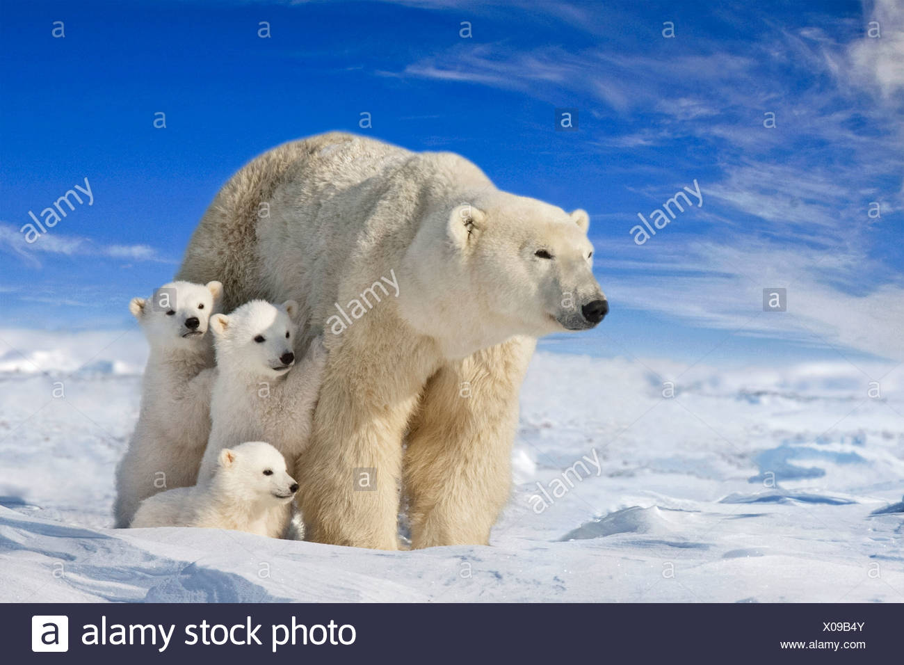 View of Polar Bear sow with her triplet cubs on the wind swept plains of Wapusk National Park, Manitoba, Canada, COMPOSITE - Stock Image