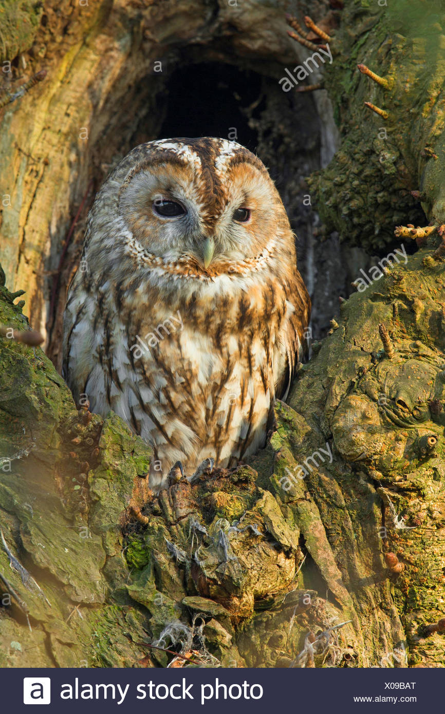 Eurasian tawny owl (Strix aluco), sits in a tree hole, Germany, North Rhine-Westphalia - Stock Image