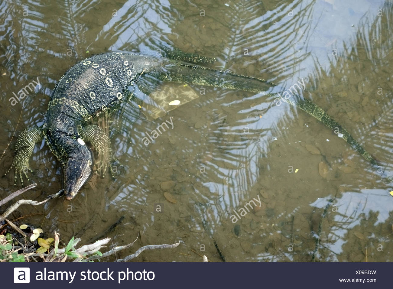 A large water monitor lizard, Varanus salvator, in water at the edge of the lake in  Lumphini Park in the centre of Bangkok - Stock Image