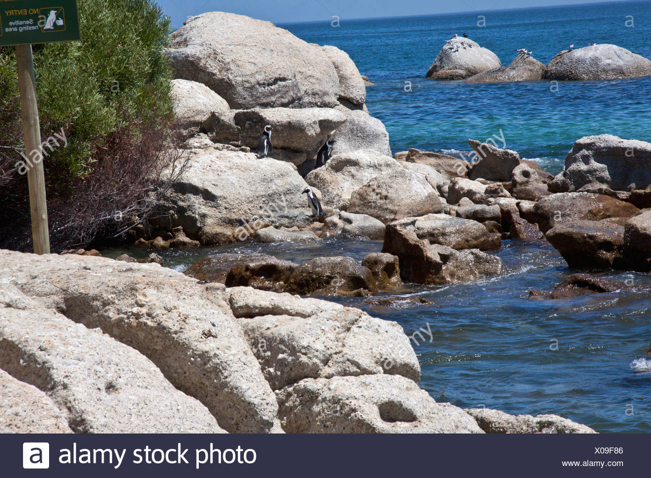 penguins on rock, western cape, south africa - Stock Image