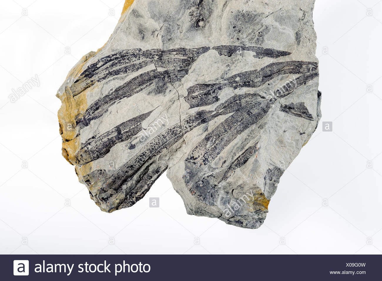 Plant fossil. The Bay Fundy Basin is one the most fossil rich deposits in the Western Hemisphere. Minas Basin Nova Scotia Stock Photo