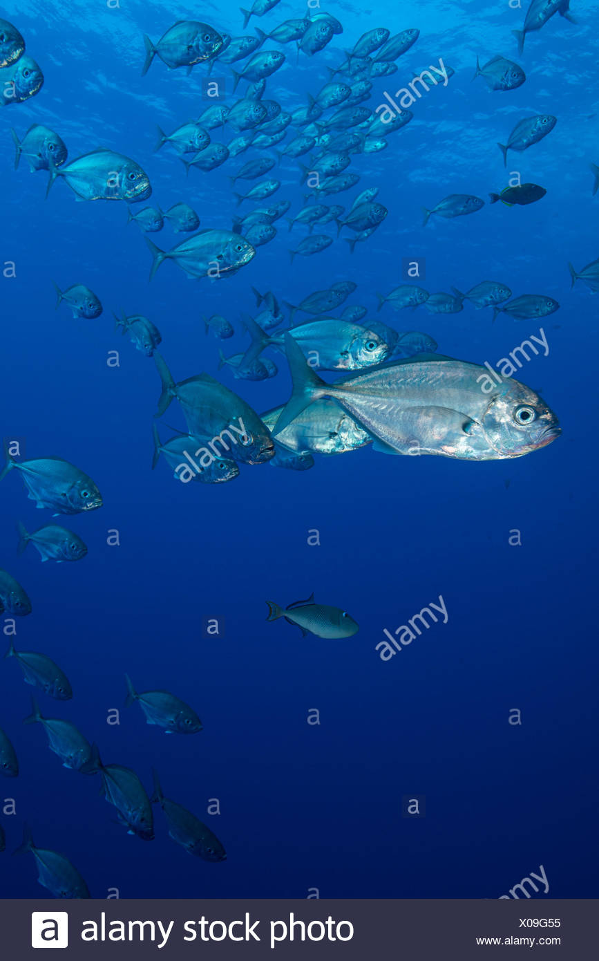 Small silvery fish gather in large schools around reef corners - Stock Image