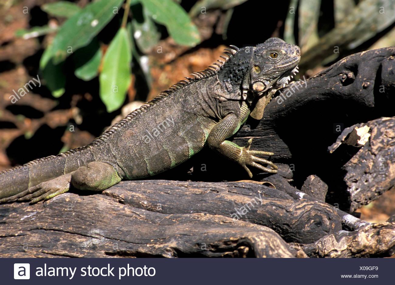 Chiapas Tuxtla Gutierrez Iguana iguana Mexico Central America America lizard - Stock Image