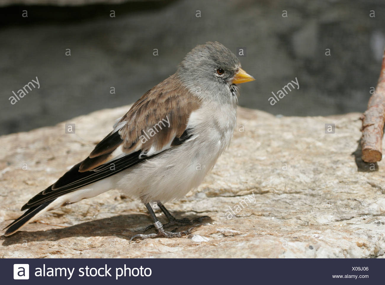 zoology / animals, avian / bird, passeriformes, White-winged Snowfinch (Mantifringilla nivalis), on stone, Lech Valley, Austria, distribution: Europe, Additional-Rights-Clearance-Info-Not-Available - Stock Image