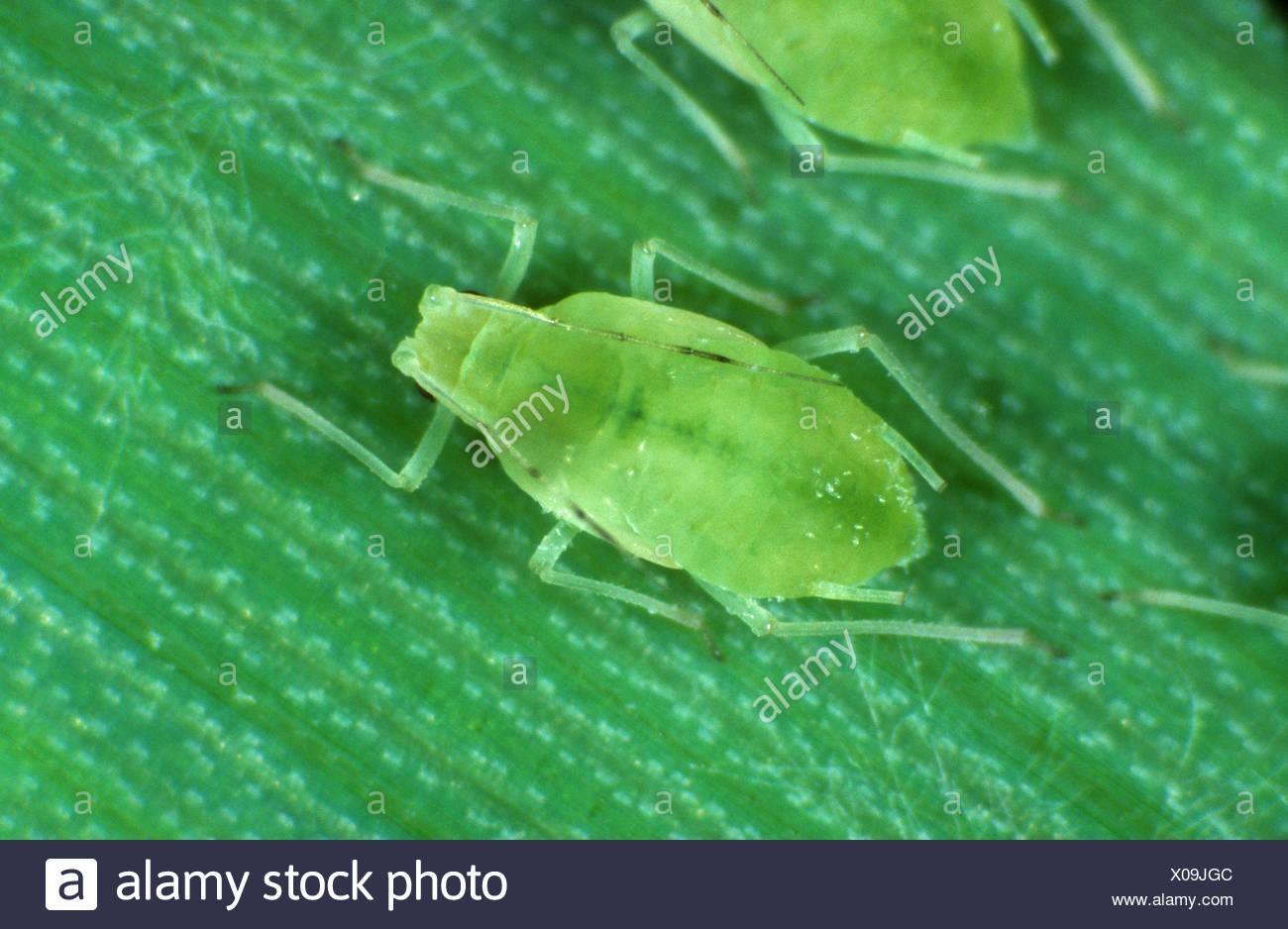 Rose-grain aphid (Metapolophium dirhodum) wingless female on a cereal leaf - Stock Image