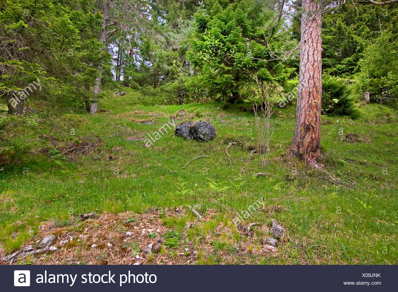 Norway spruce (Picea abies), coniferous forest of spruce and pine, Germany - Stock Image