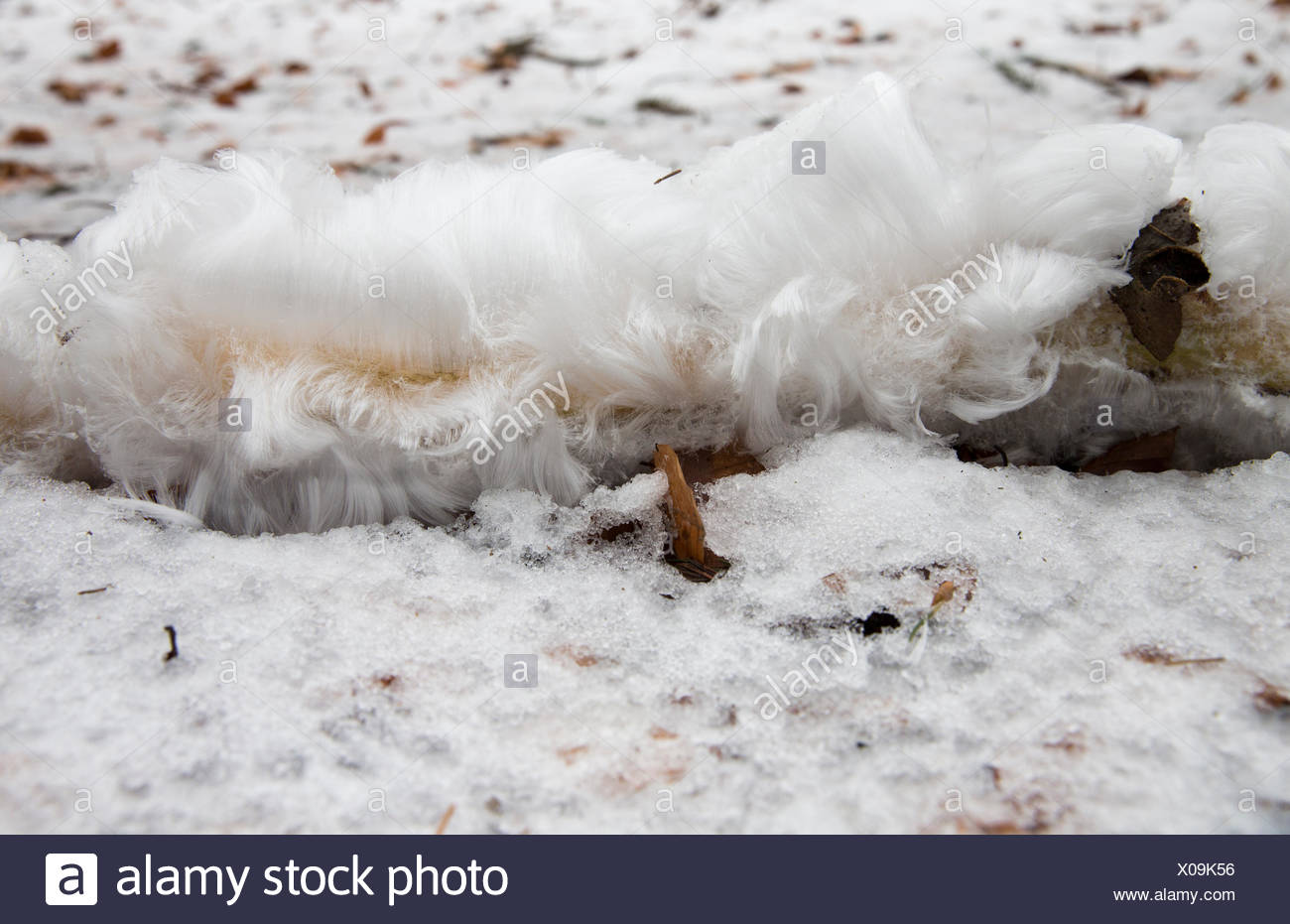a branch with hair ice lies on the snow in the beech forest, a very rare phenomenon - Stock Image