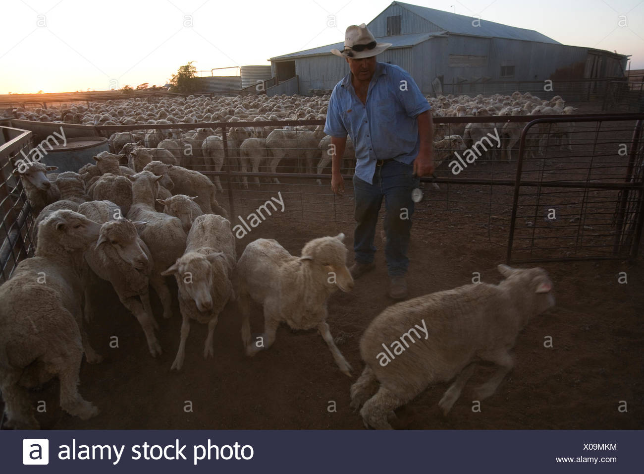 A man loads breeding ewes to be moved north to wait out the drought. - Stock Image