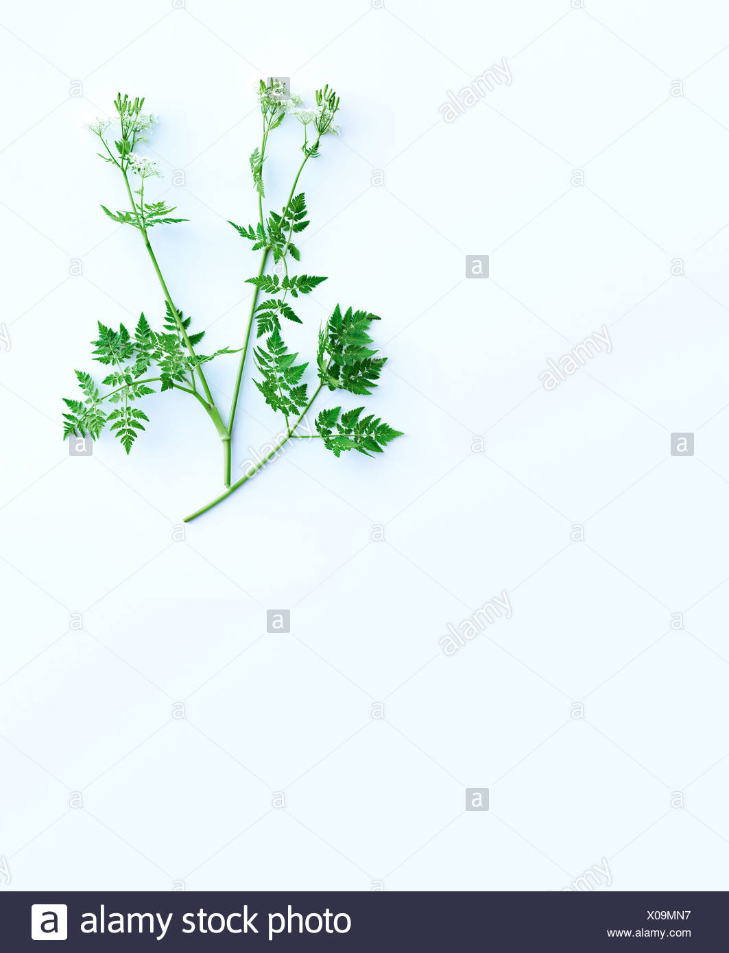 Herb stems and leaves - Stock Image