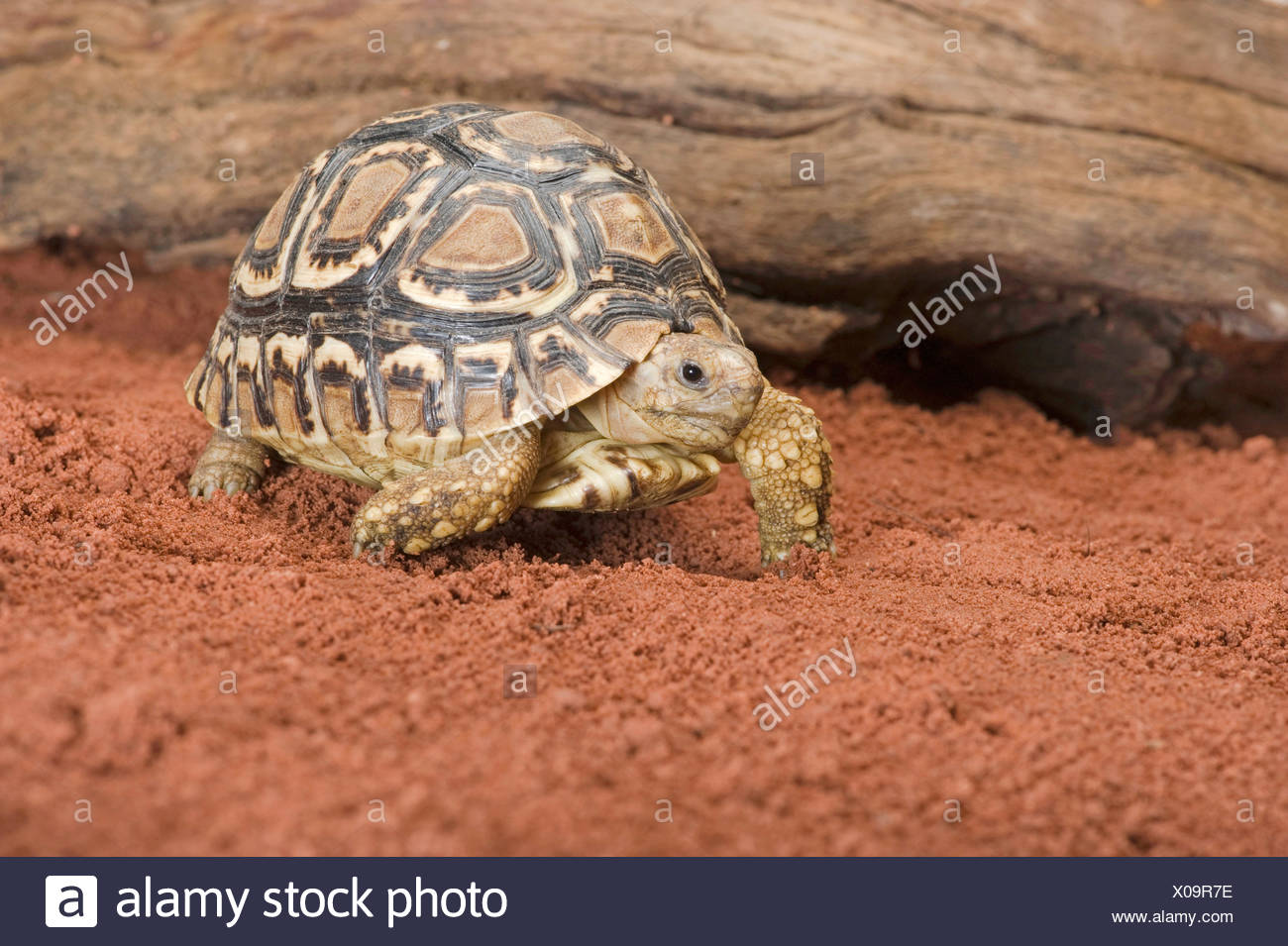Leopard tortoise (Stigmochelys pardalis, Geochelone pardalis), walking on sandy ground - Stock Image