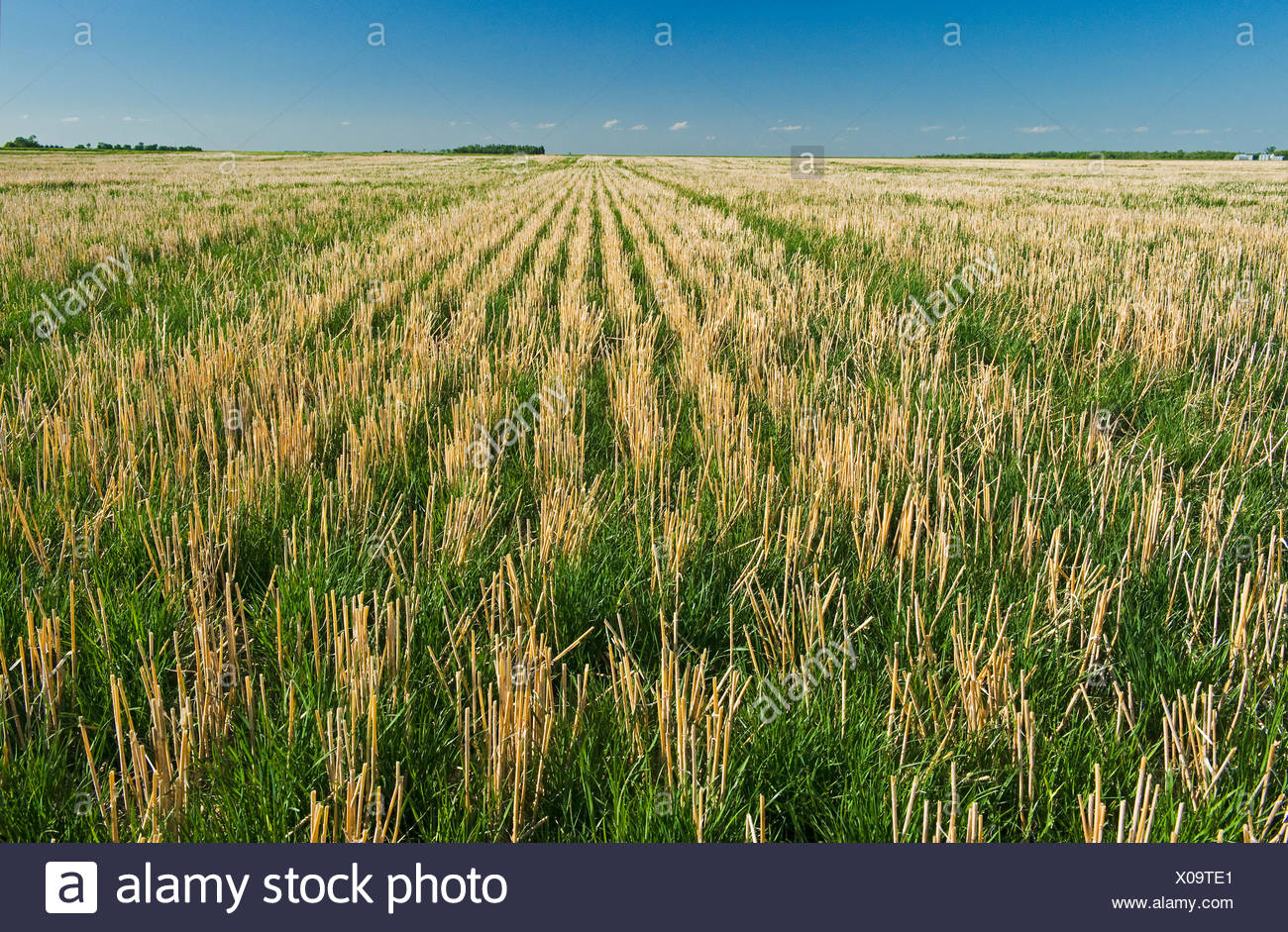 An early growth rye grass growing in zero till soil with wheat stubble, near Carey, Manitoba, Canada - Stock Image