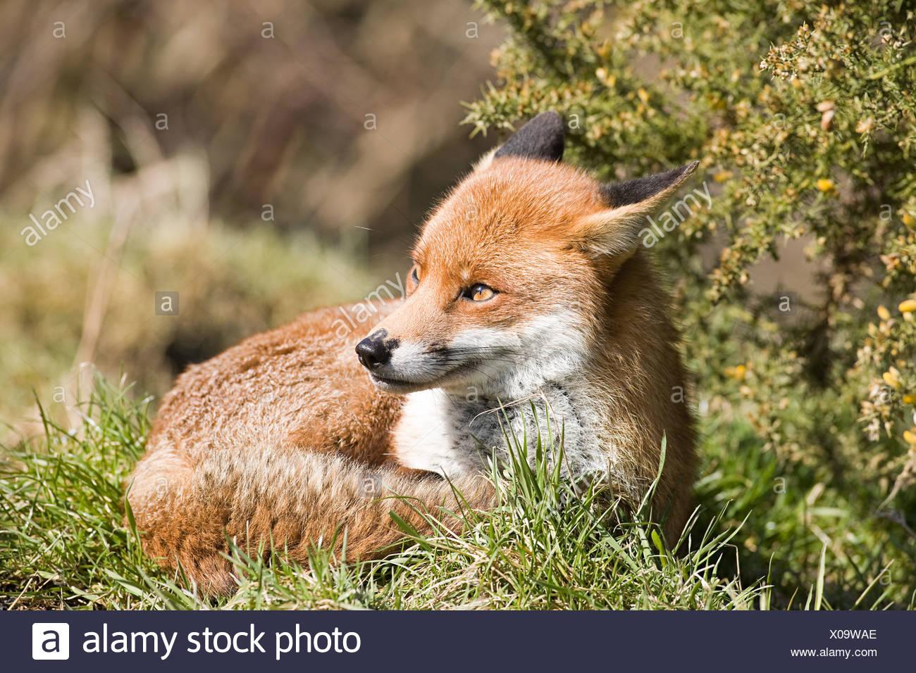 Red fox - Stock Image