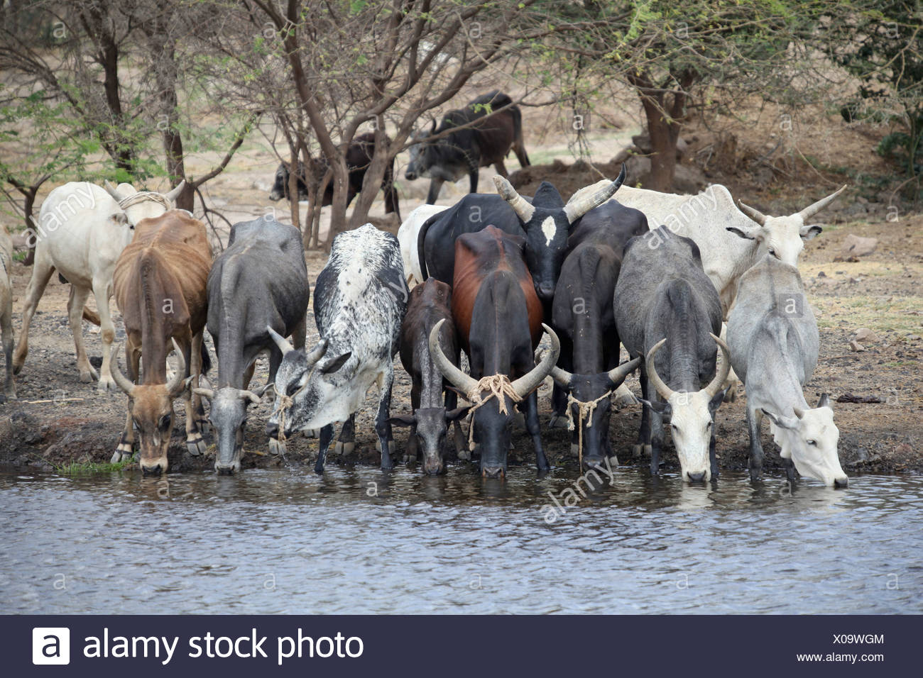 Cows, Awasch, Africa, cow, cows, watering hole, watering place, Ethiopia, Africa - Stock Image