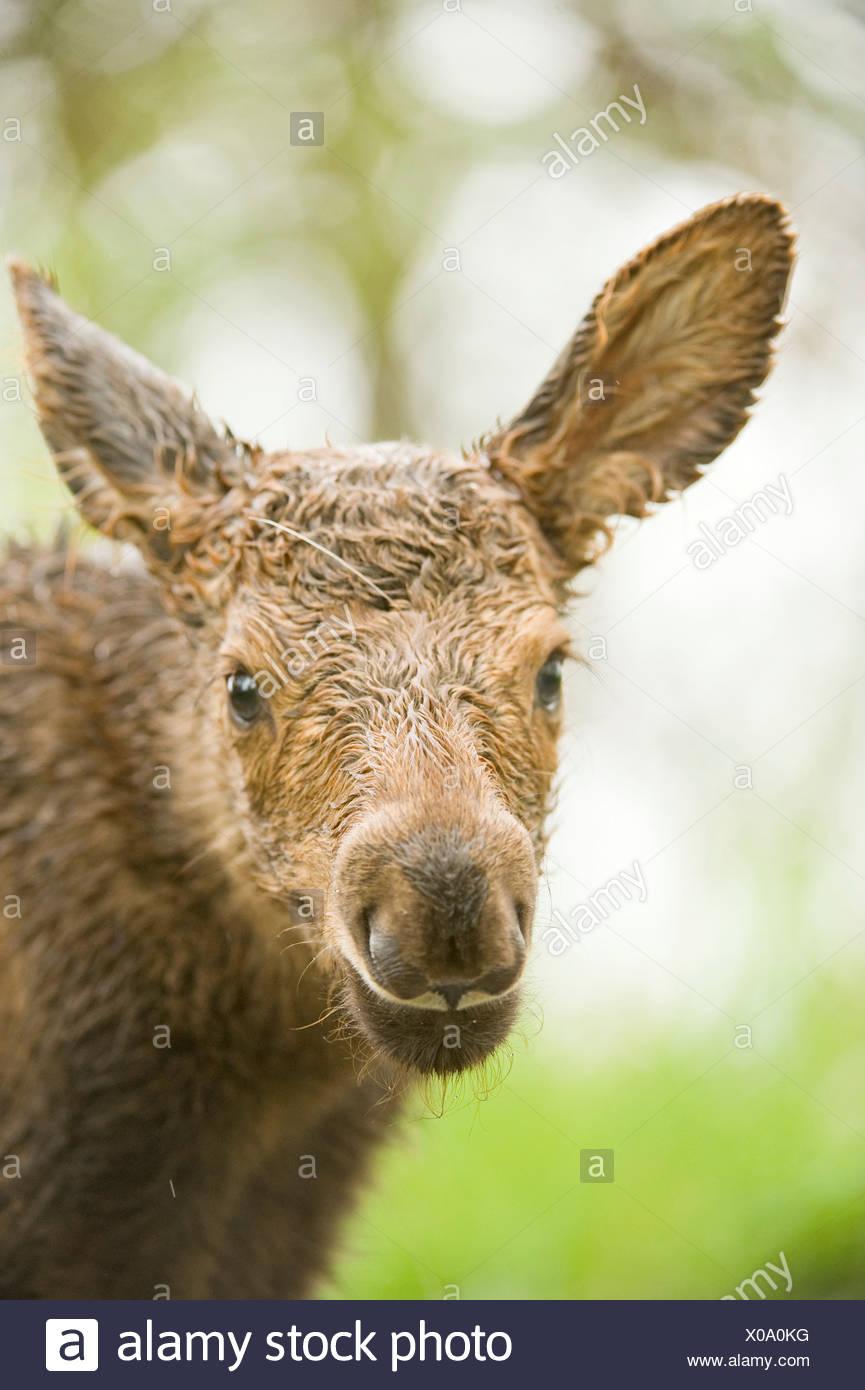 USA Alaska Anchorage Tony Knowles Coastal Trail moose Alces alces portrait newborn calf along spring - Stock Image