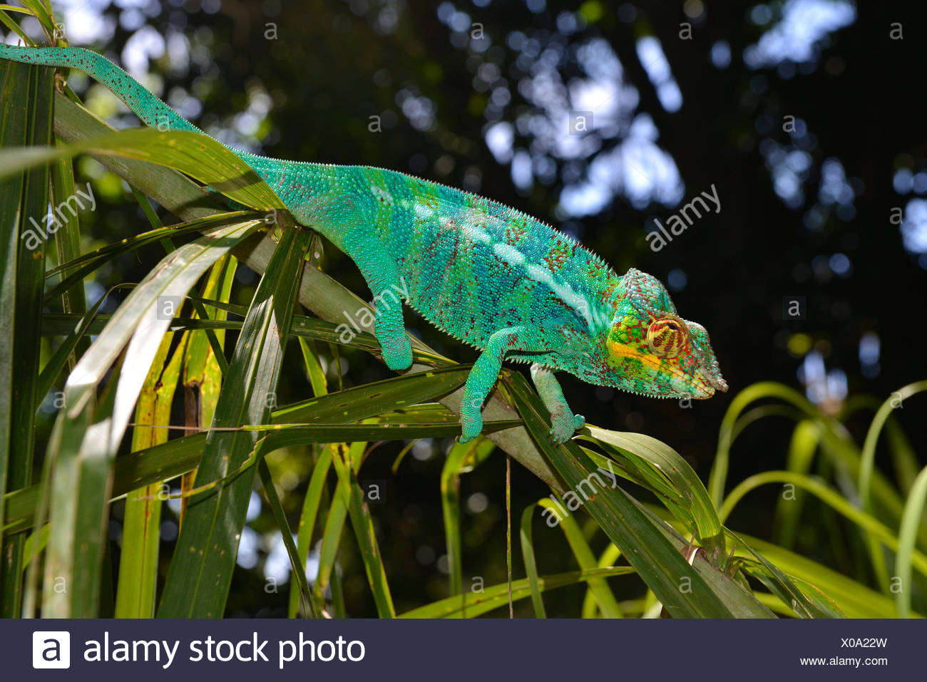 Male panther chameleon (Furcifer Pardalis), in the forests of the island of Nosy Komba, northwest of Madagascar, Madagascar - Stock Image