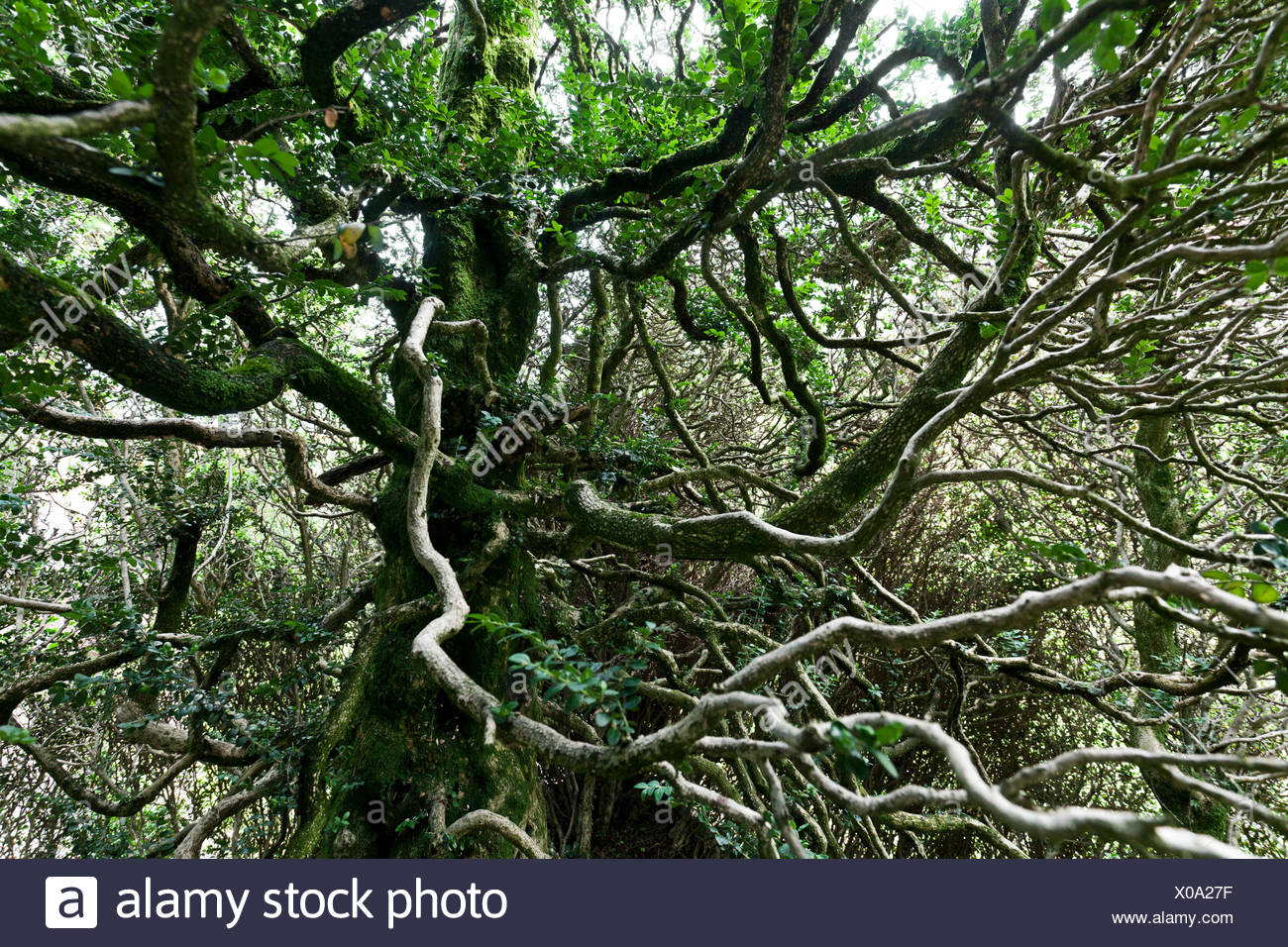 Sprawling branches of a withered boxwood (Buxus sempervirens), park of Schloss Bothmar, Malans, Canton of Grisons, Switzerland - Stock Image