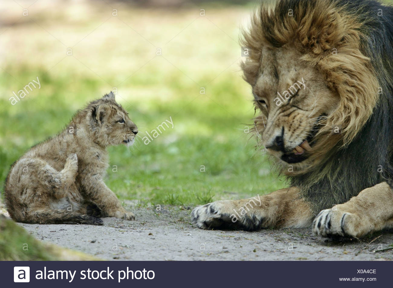 Asiatische Lions leo the stock photos leo the stock images alamy