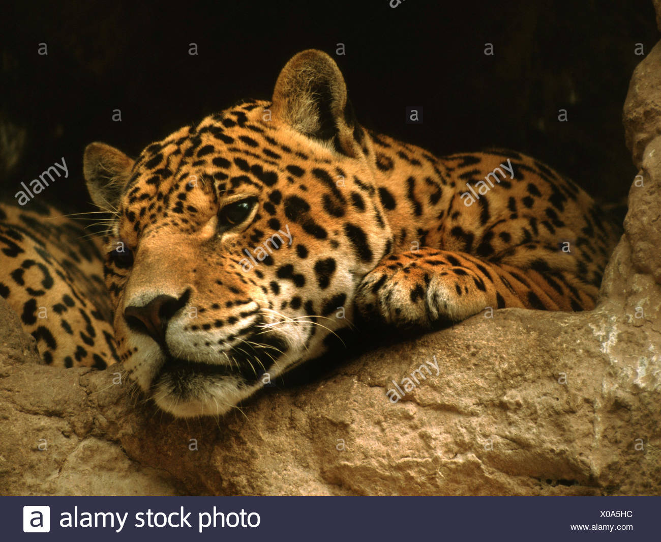 jaguar (Panthera onca), portrait - Stock Image
