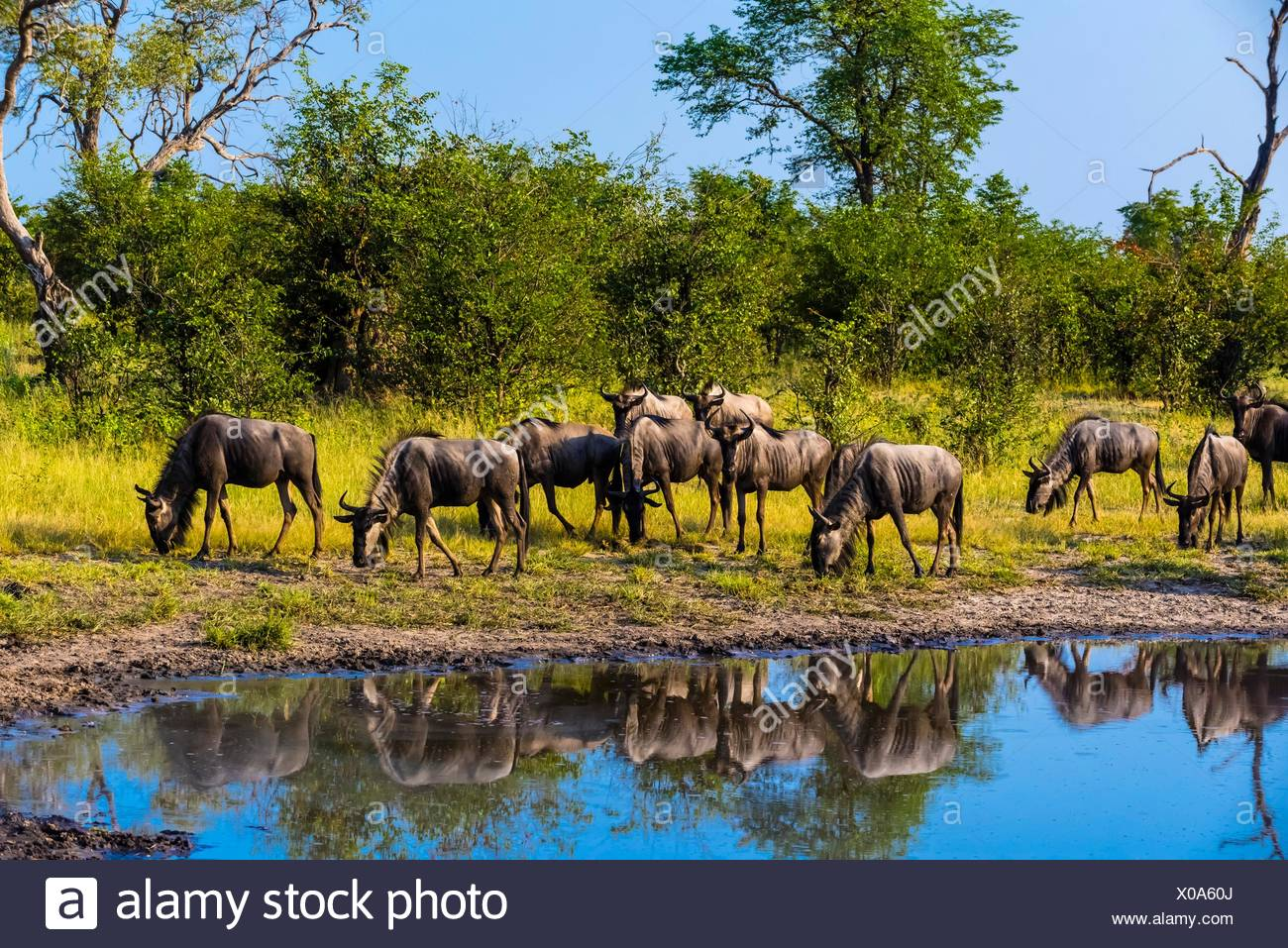 Blue wildebeest (gnu), Kwando Concession, Linyanti Marshes, Botswana. Stock Photo