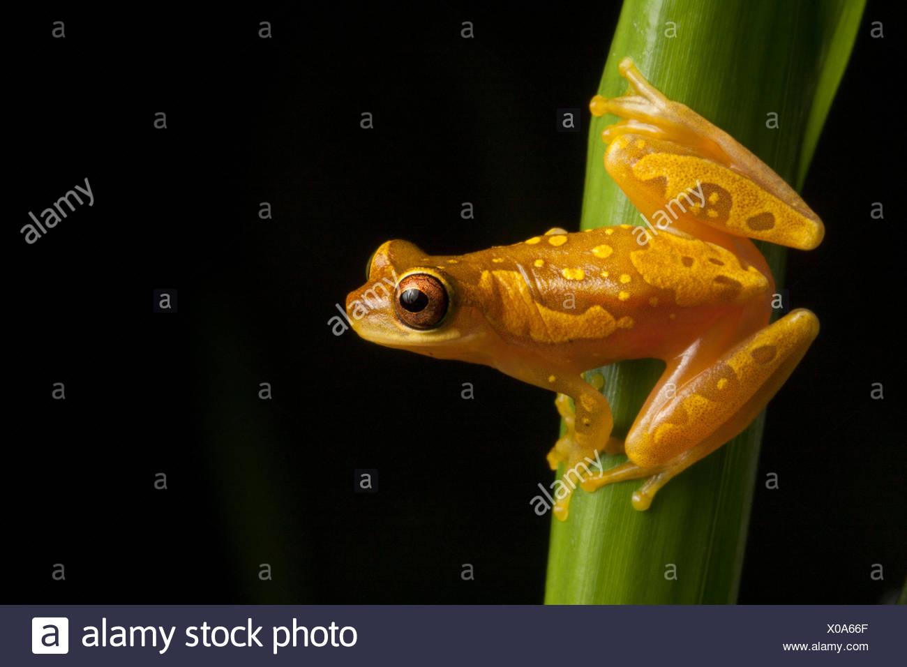 Portrait of a hourglass tree frog, Dendropsophus ebraccatus. - Stock Image