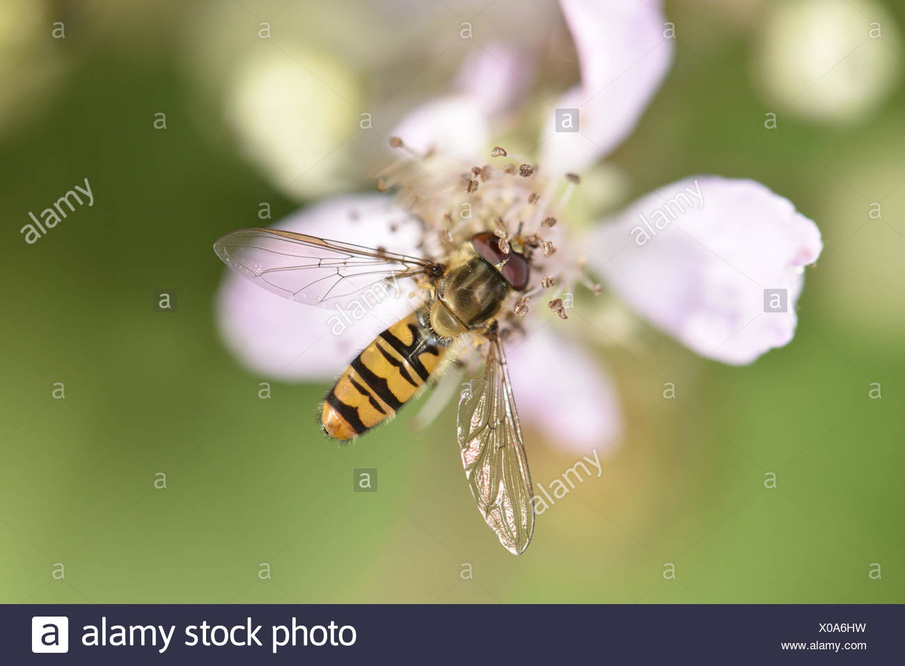 Marmalade Hoverfly - Episyrphus balteatus - Stock Image