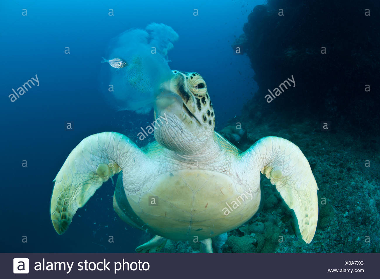 Green turtle (Chelonia mydas) feeding on jellyfish. Juvenile mackerel still hides beside the jellyfish about to lose its home. - Stock Image
