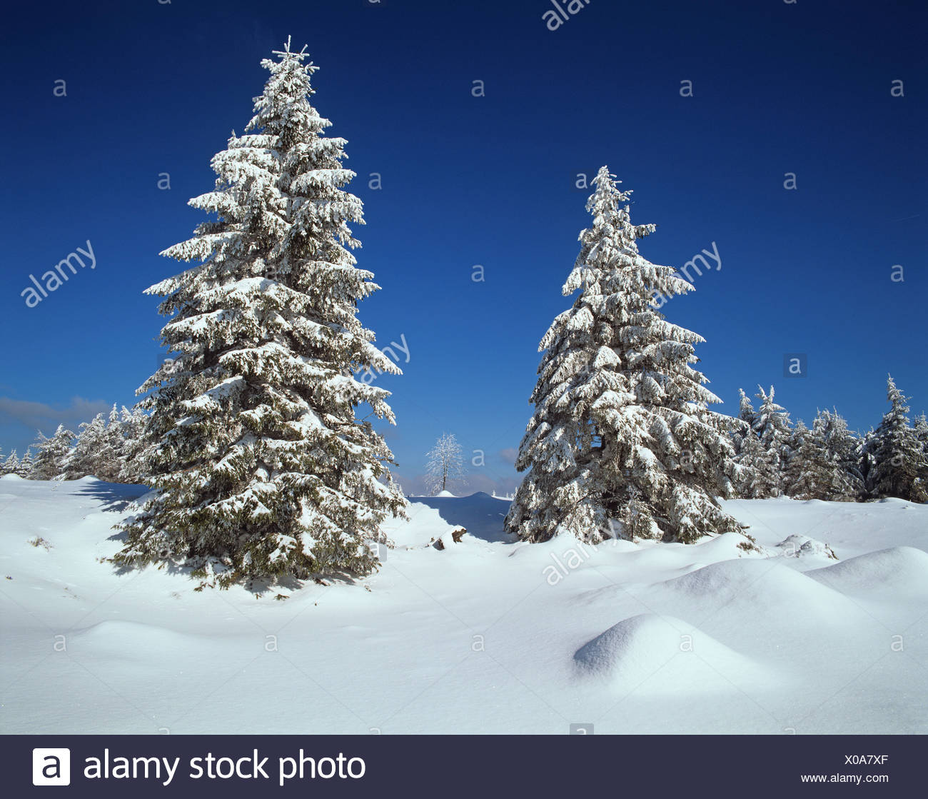 Snow-covered Spruce trees (Picea abies) at the edge of the Beerbergmoor Nature Reserve, a montane raised bog, near Schmuecke, - Stock Image