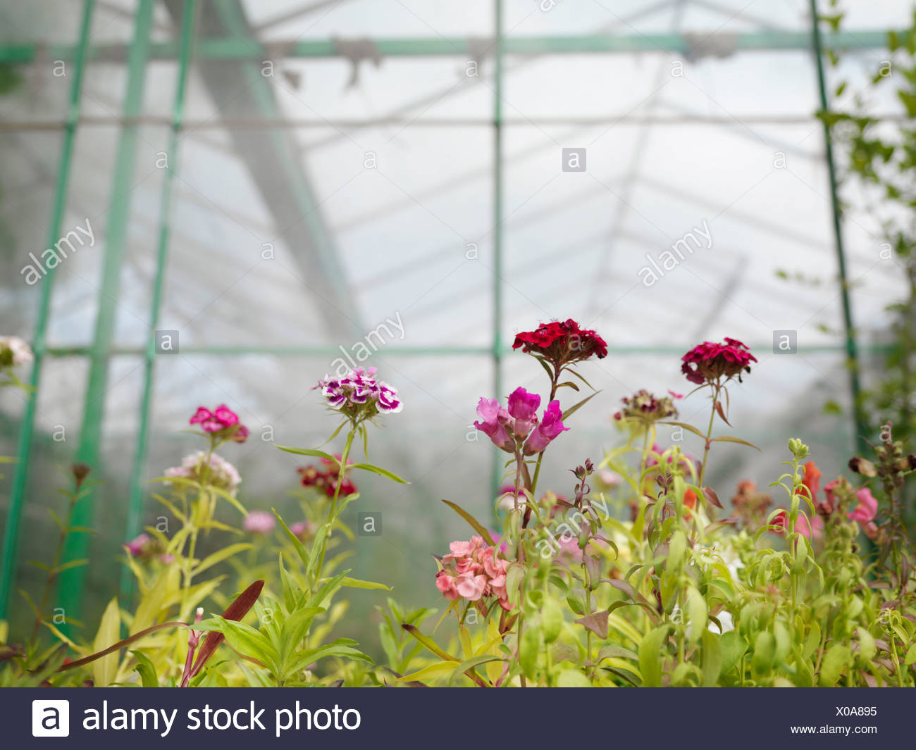 Pink Flowers In Green House - Stock Image