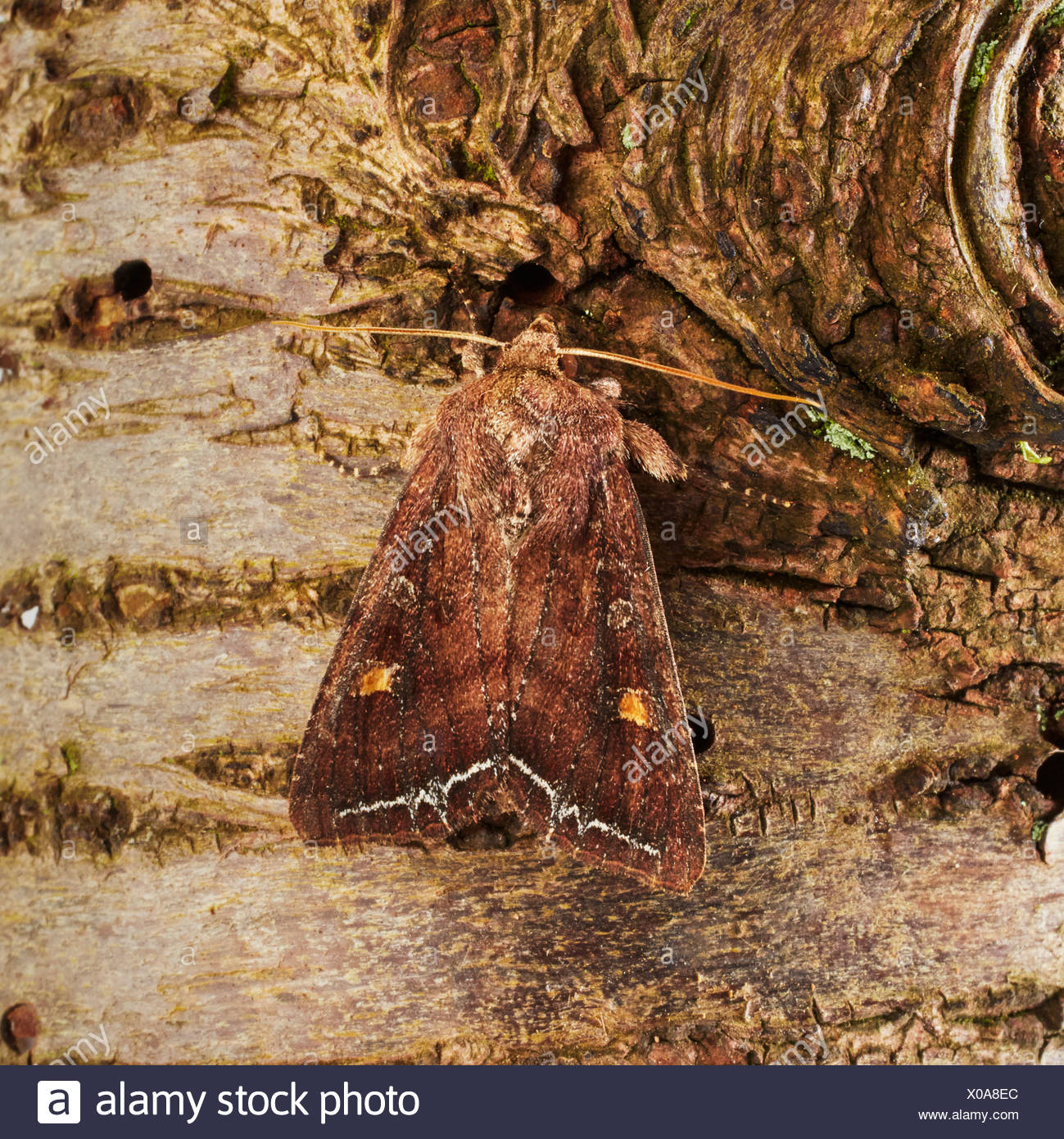 Beautiful golden Y moth - Stock Image