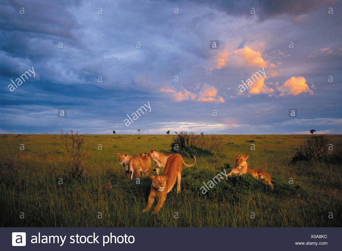 Stretching off an afternoon nap, a pride of lions prepares for a twilight hunt - Stock Image