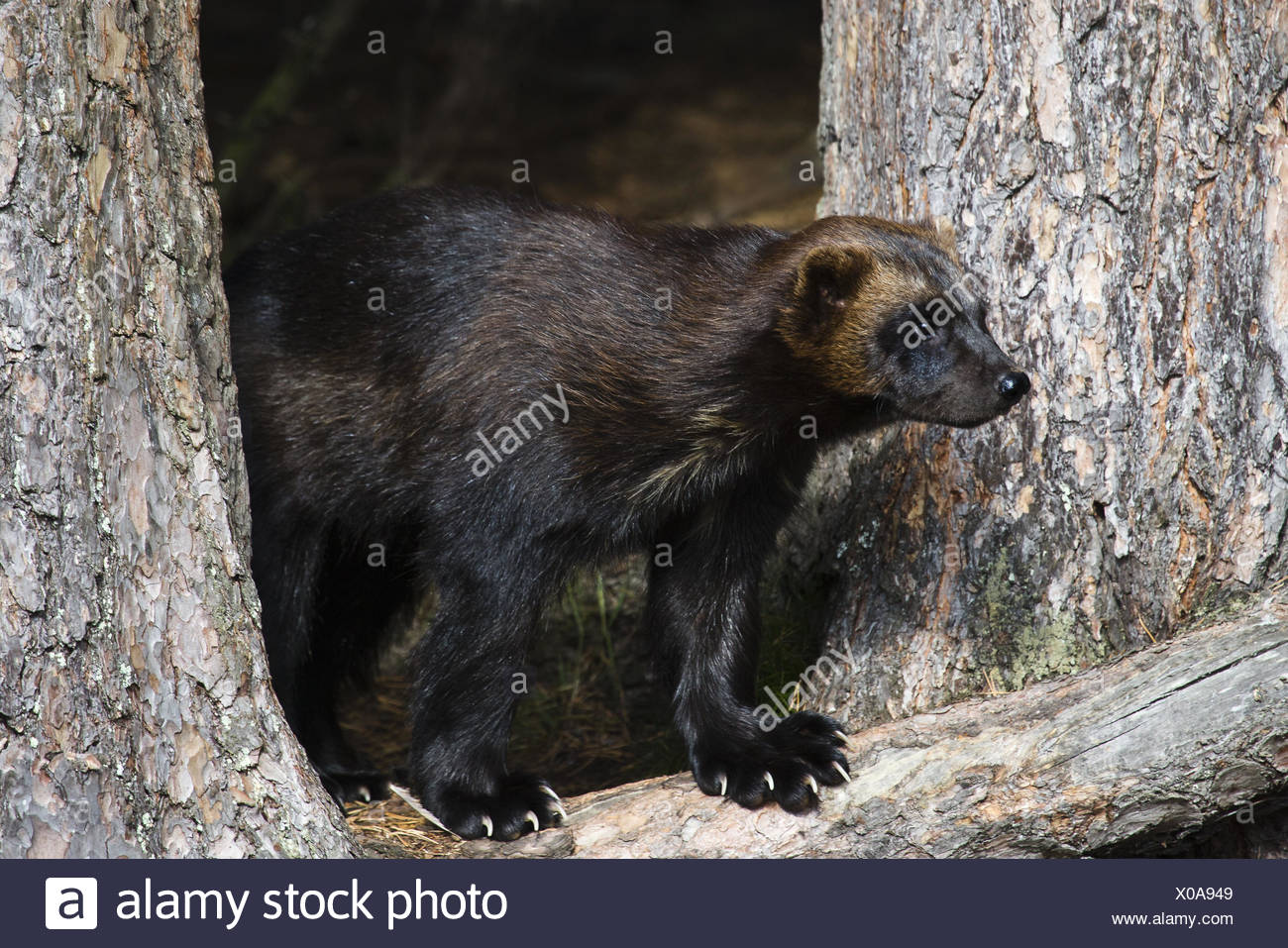 wolverine between trees Stock Photo
