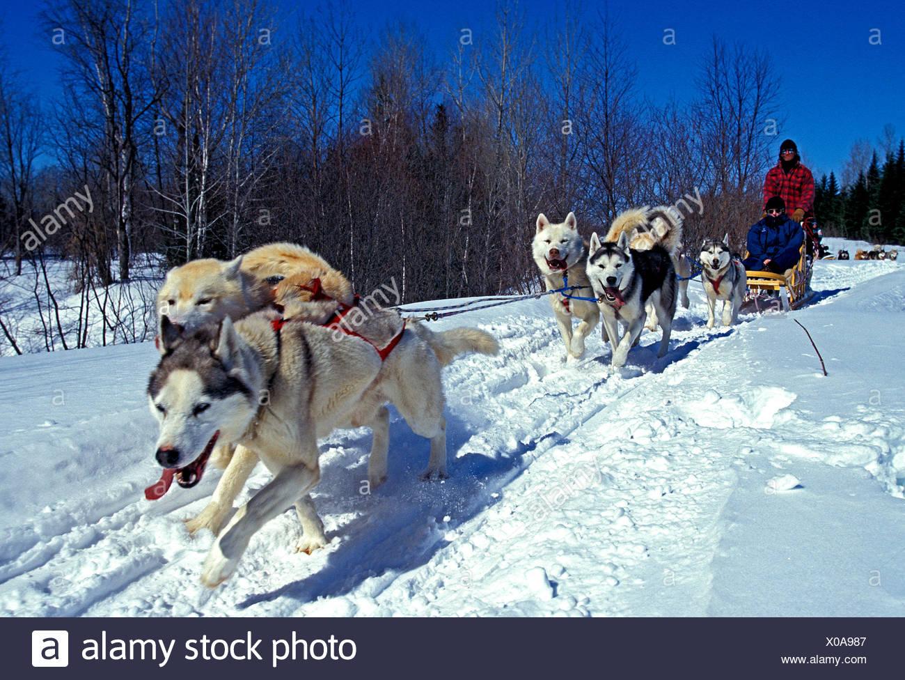 Siberian Husky Quebec Man Sledge Snow...