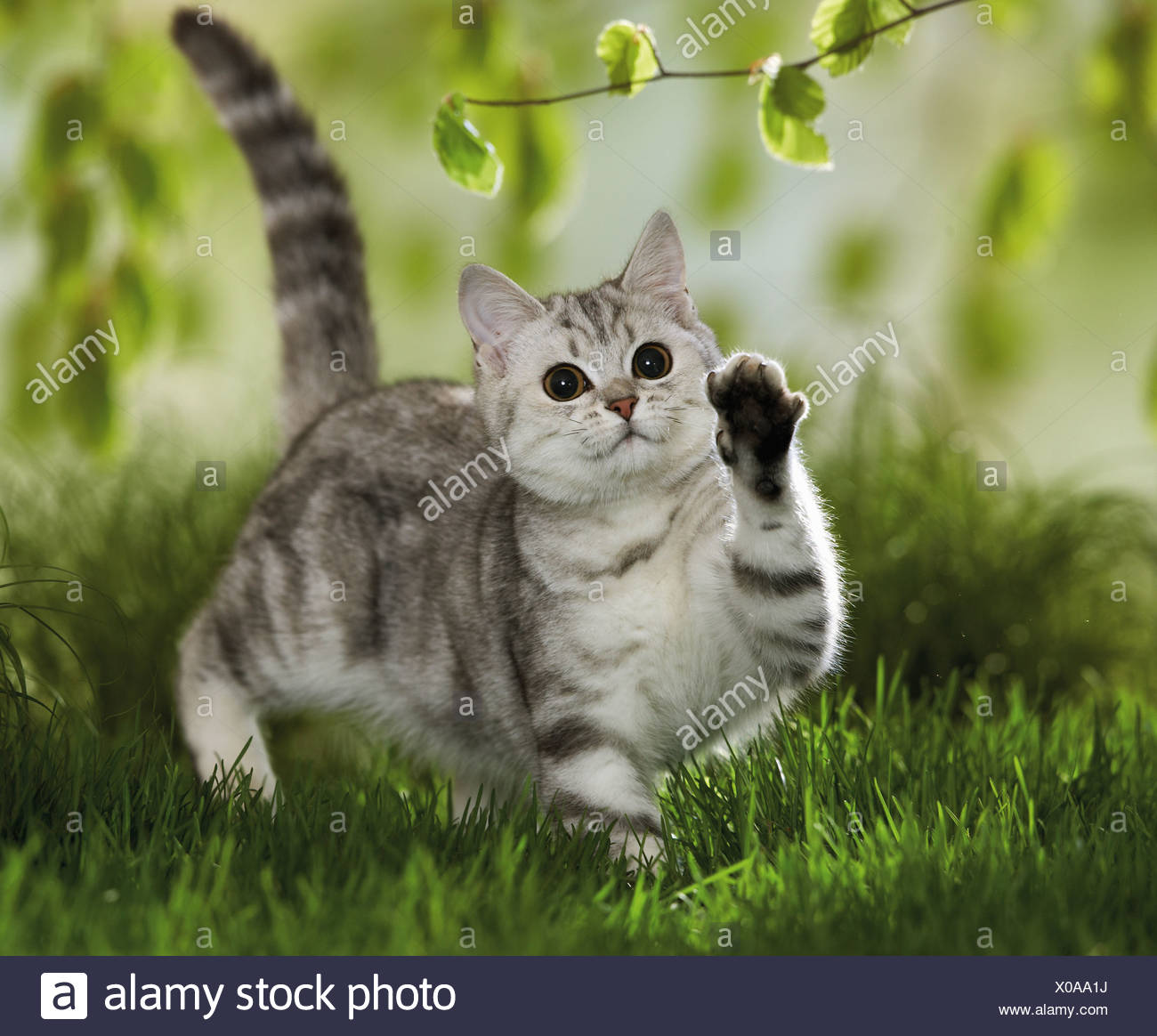 British Shorthair cat - playing with twig - Stock Image