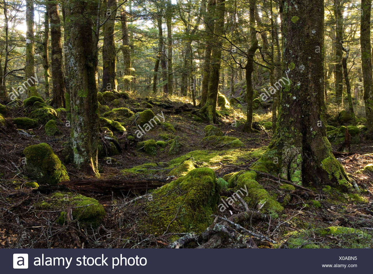 Sunbeams in a mystical forest, Routeburn Road, Otago, South Island, New Zealand - Stock Image