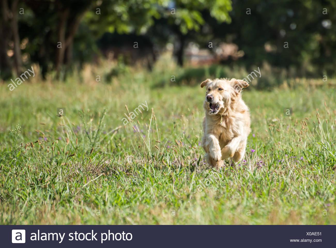 Golden Retriever Running - Stock Image