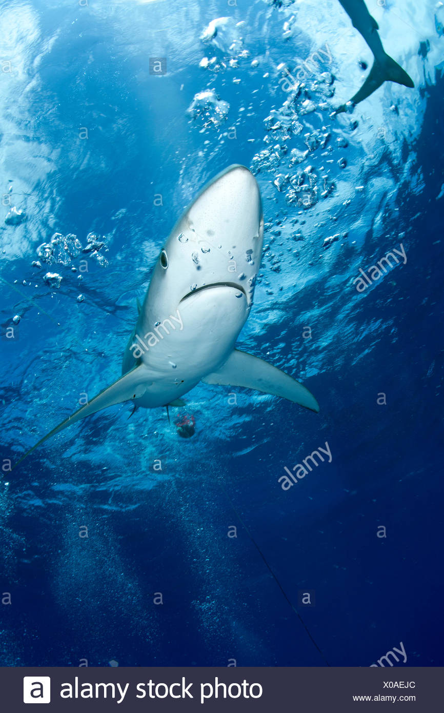 Great Blue shark (Prionace glauca) viewed from just below the surface, Pico Island, Azores, Portugal, Atlantic Ocean - Stock Image