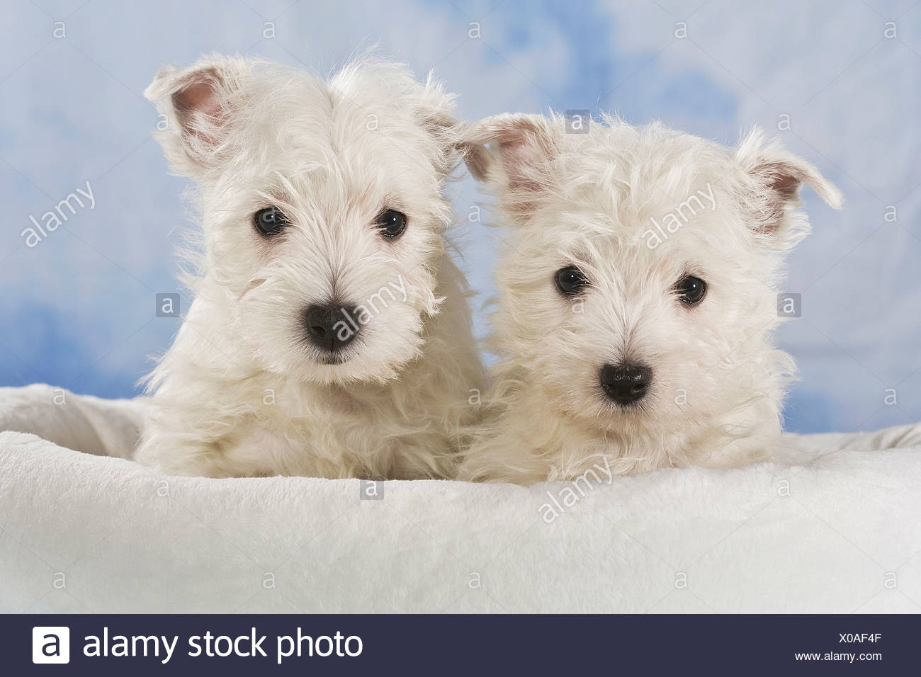 Two West Highland White Terriers, Westie puppies - Stock Image