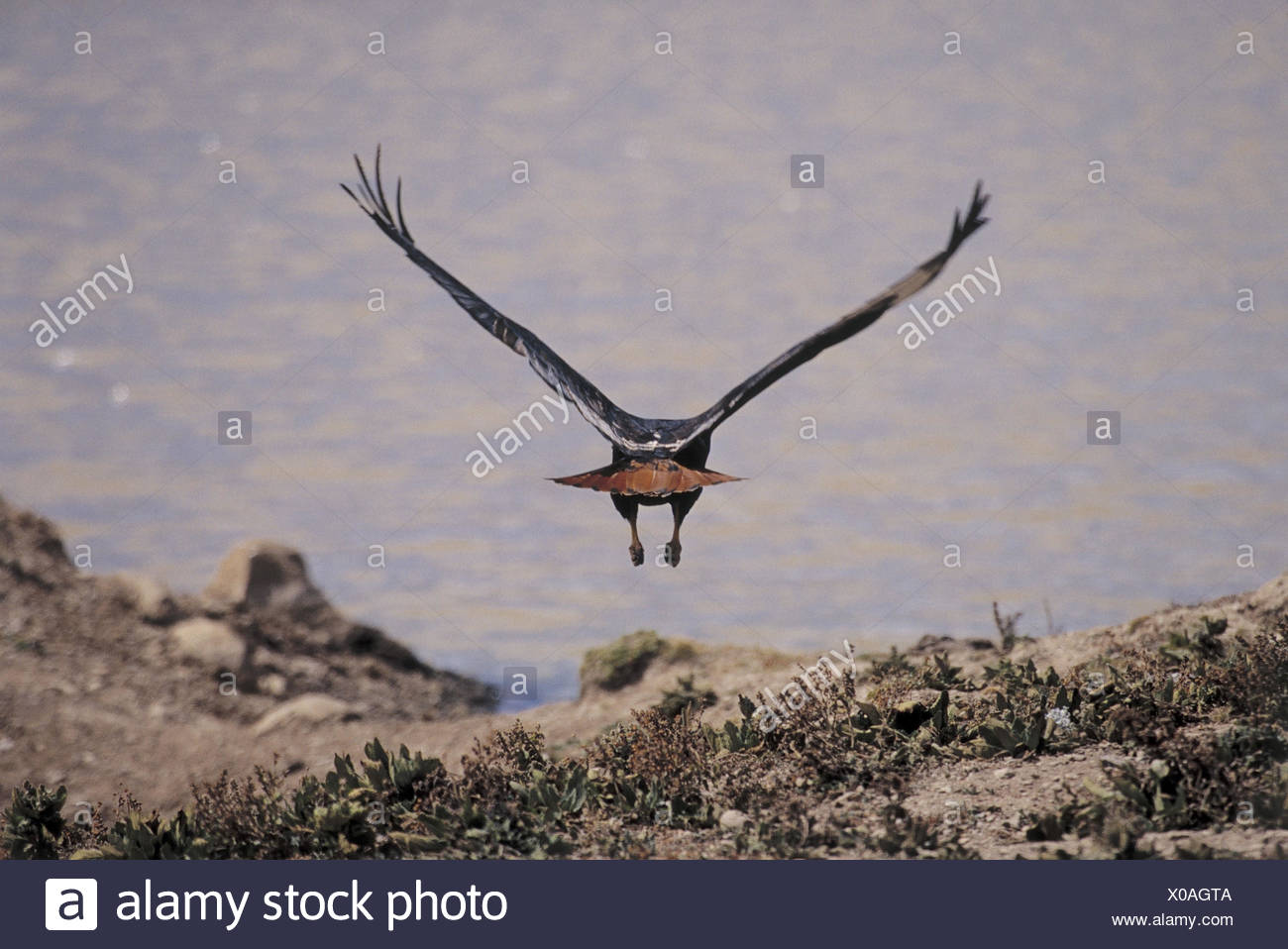 Ethiopia, Bale Mountains National Park, Senetee plateau, eagle, fly away, from the back, Africa, north-east, Africa, Ityopia, south Ethiopia, national park, scenery, nature reserve, animal, bird, bird prey, start, takeoff, wing, spread, wingspan - Stock Image