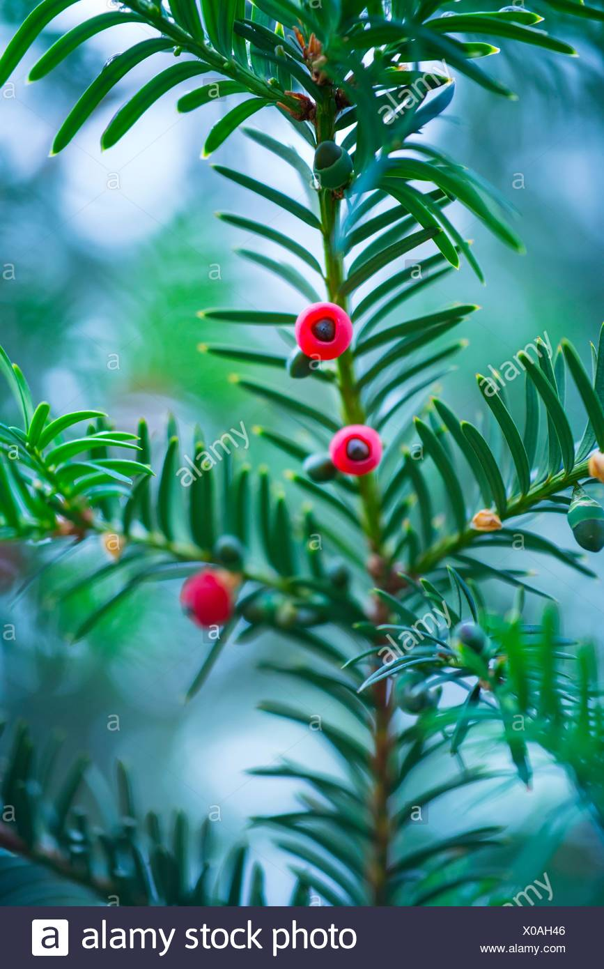 Mature cones, EUROPEAN YEW - TEJO (Taxus baccata), Cantabria, Spain, Europe. - Stock Image