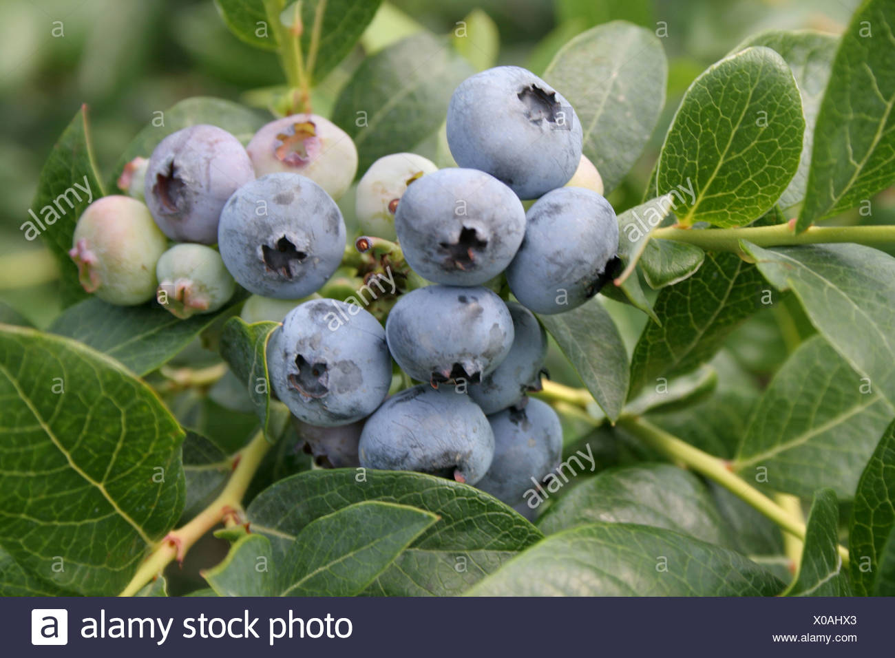 Ripe blueberries on bush South Haven Michigan - Stock Image