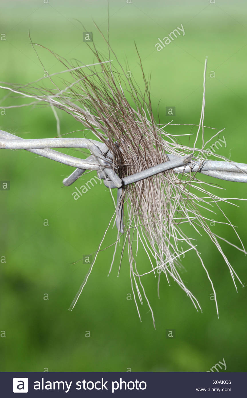 Deer Hair In Barbed Wire - Stock Image
